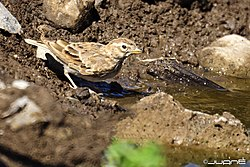 Terrera Marismeña, Calandrella rufescens (5824832901).jpg