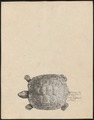 Testudo areolata - 1700-1880 - Print - Iconographia Zoologica - Special Collections University of Amsterdam - UBA01 IZ11600043.tif