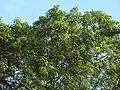Tetrameles nudiflora habit (3).jpg
