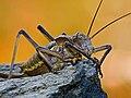 Tettigoniidae.jpg