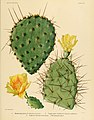 The Cactaceae (Plate XXIII) (6026508748).jpg