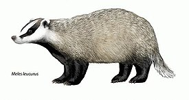 The Natural History of Badgers - Meles leucurus.jpg