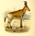The book of antelopes (1894) Bubalis lichtensteini.png