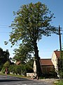 The final hours of the lime tree. - geograph.org.uk - 552699.jpg
