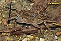 The freshwater crabs of Macau (10.3897-zookeys.810.30726) Figure 2, Cantopotamon hengqinense.jpg