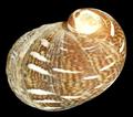 Theodoxus fluviatilis shell 7.png