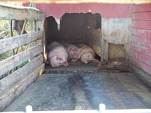 Sty - Three pigs sleeping