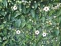 Thunbergia alata - wetland 2.jpg