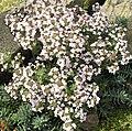 Thymus vulgaris 3 (Espagne).JPG