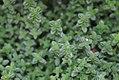 Thymus x citriodorus 0zz.jpg