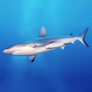 Un gran tiburón surcando aguas oceánicas.