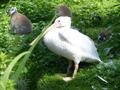 Tierpark-Pyrmont.Pelikan.png
