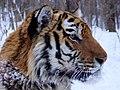 Tiger Amur (6383864001).jpg