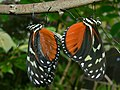 Tiger Longwings (Heliconius hecale zuleika) mating (9564959726).jpg