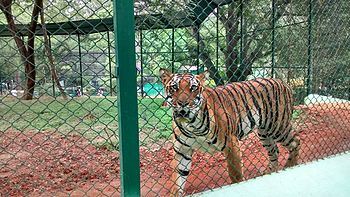 Tiger by Pawan Dwivedi.jpg