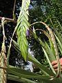 Tillandsia ferreyrae (TS) 2-00650.jpg