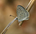 Tiny Grass Blue, Zizula gaika in Hyderabad, AP W IMG 7731.jpg