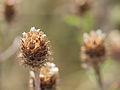 Tiny dry flowers (14748176990).jpg