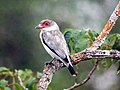 Tityra semifasciata -Brazil-8.jpg