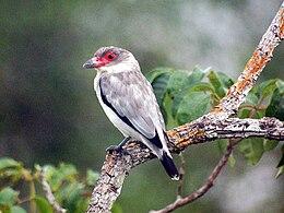 Tityra semifasciata -Brazil-8
