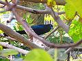 Tordo negro o zorzal entre las ramas.JPG