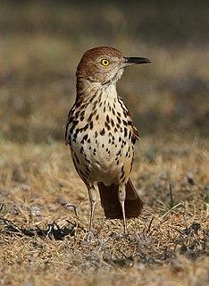 Brown thrasher species of bird