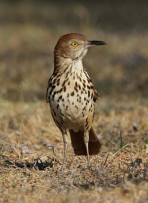 Brown thrasher - In Texas, USA