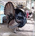 Tree Farm, Turkey 12-8-12 (8297236231).jpg