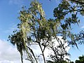 Tree in Domburg, Suriname.JPG