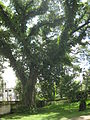 Tree in front of Shashi Lodge (Present Teachers' Training College), Mymensingh, Bangladesh 02.JPG