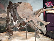 Triceratops prorsus at the Science Museum of Minnesota.