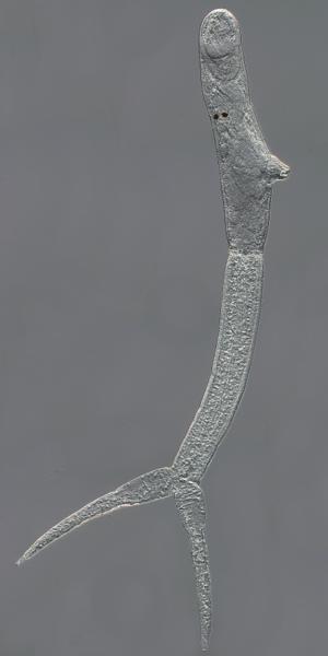 Trichobilharzia regenti - Trichobilharzia regenti, cercaria