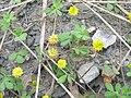 Trifolium campestre plant4 (10621043304).jpg