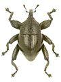 Trigonopterus taurekaorum holotype - ZooKeys-280-001-g089.jpg