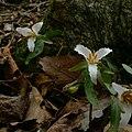 Trillium pusillum whole plants.jpg