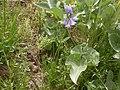 Triteleia grandiflora (3626410646).jpg
