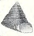 Trochus camelophorus 001.jpg