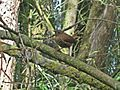 Troglodytes troglodytes (Eurasian Wren), Arnhem, the Netherlands - 2.jpg
