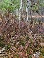 Troianivka Manevytskyi Volynska-Kruchene ozero nature reserve-Rhododendron tomentosum-2.jpg