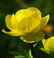 Trollius europaeus - flower.jpg