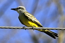 Tropical Kingbird.jpg