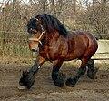 Trotting Belgian draft horse.jpg