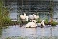 Trumpeter Swans Preening (35962765722).jpg