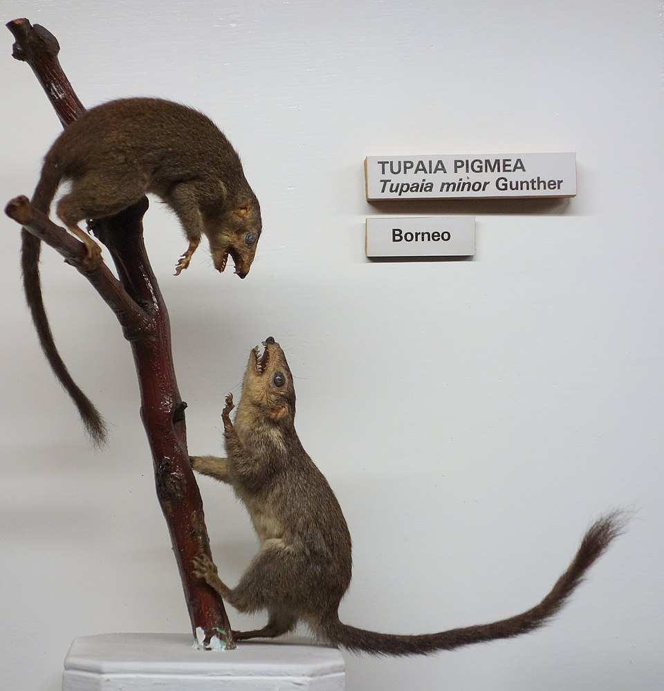 The average litter size of a Pygmy treeshrew is 1