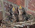 Turdus merula -England -chicks in nest-8 (2).jpg