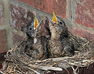 Common Blackbird chicks in a nest in England.