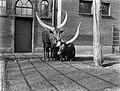Twee Afrikaanse runderen in Artis, Bestanddeelnr 189-0131.jpg