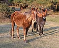 Two new forest ponies.JPG