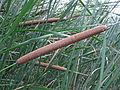 Typha austro-orientalis 1.jpg