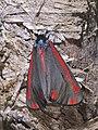 Tyria jacobaea 01.jpg